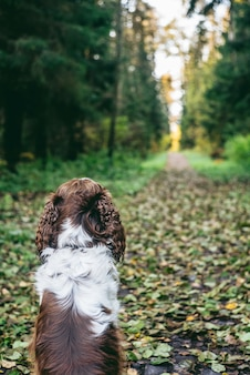 English springer spaniel dog sits in autumn forest