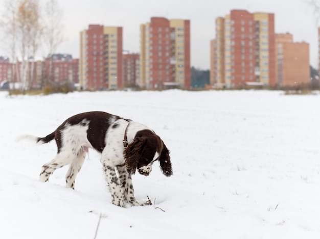 English springer spaniel puppy dog playing outdoors