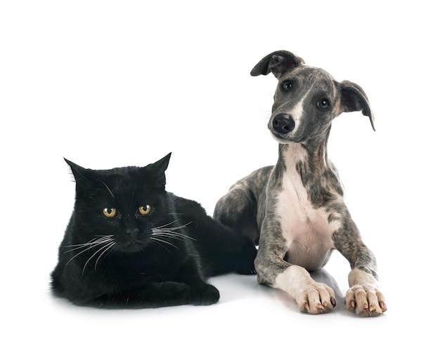 Английский уиппет и кошка на белом фоне