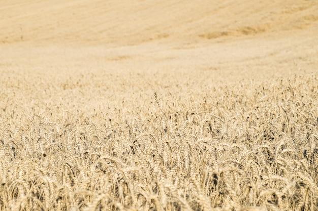 빵 옥수수와 함께 거대한 농업 토지