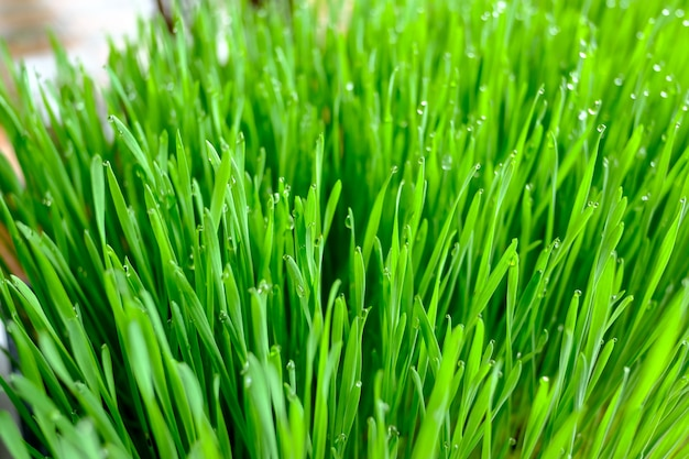 Enrich your raw diet nutrition with wheat-grass juice
