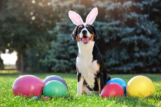 Entlenucher dog wearing bunny ears at the egg hunt