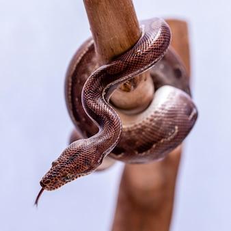 Epicrates cenchriaは、中南米に固有のボア種です。一般的な名前には、レインボーボア、スレンダーボアなどがあります。