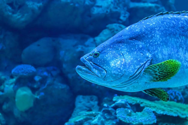 カラフルな魚や海のepinephelus lanceolatusの背景、サンゴ、タイ。