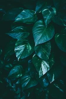 Epipremnum aureum tropical filter photo