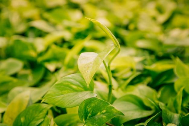 Зеленые листья растения epipremnum aureum