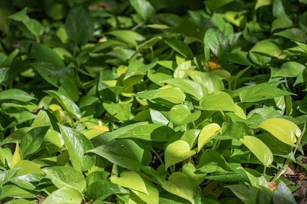 Растение epipremnum aureum в саду. общие названия, в том числе золотой потос, цейлонский лиан, одеяние охотника, айви арум, денежное растение и серебряная лоза.