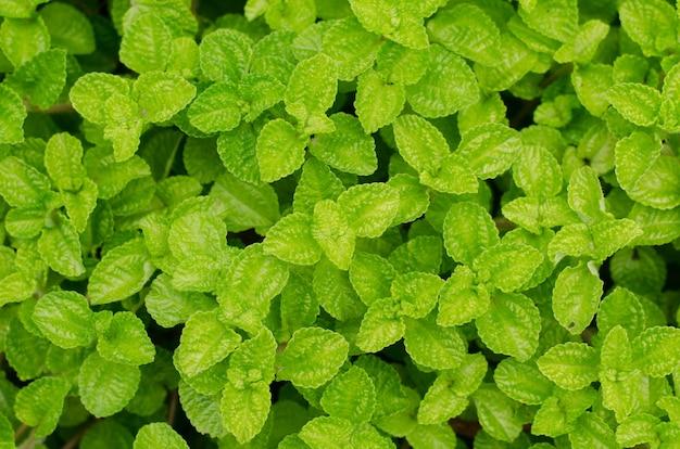 Episcia leaf background