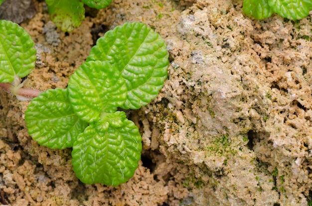 Episcia leaf on stone background