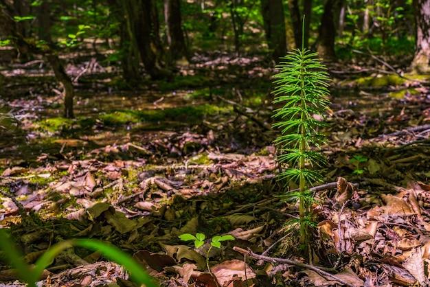 春の森のスギナ