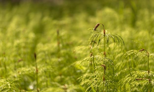 Хвощ полевой - equisetum sylvaticum