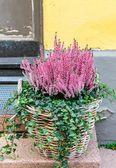 Erica (heather) and ivy ordinary (hedera helix) in a wicker basket on the street.