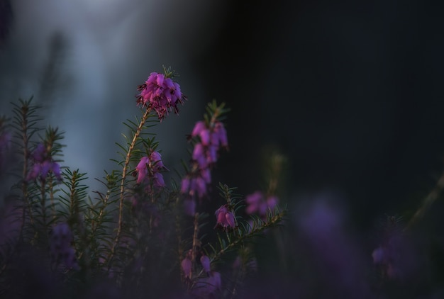 Erica plant