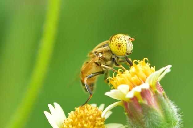 Eristalinus punctulatus on a flower