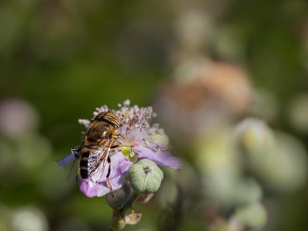 Eristalinus taeniops. муха семейства syrphidae.