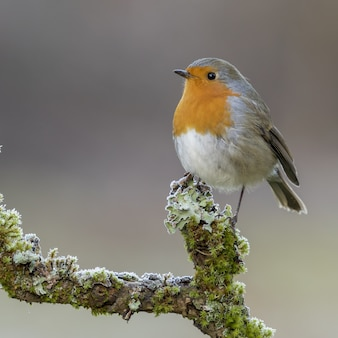Erithacus rubecula bird perched on a mossy branch