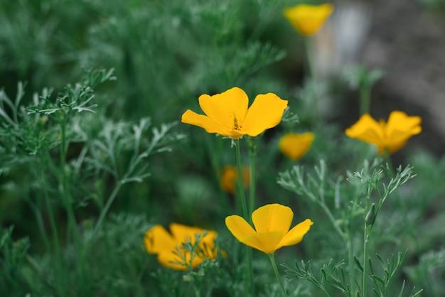 Летом в саду растут желтые цветки escholzia. выборочный фокус