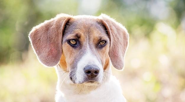 Estonian hound dog on blurred background