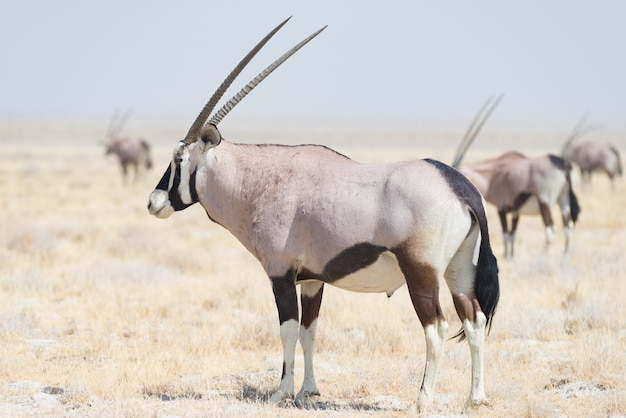 Орикс стоя в африканской саванне, величественный национальный парк etosha, самое лучшее назначение перемещения в намибии, африке.
