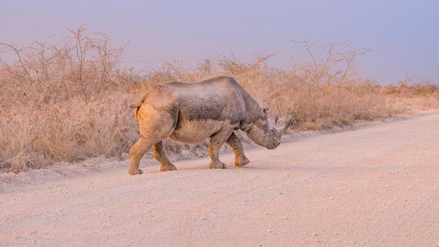 Черный носорог идя на заход солнца в национальном парке etosha в намибии, африке.