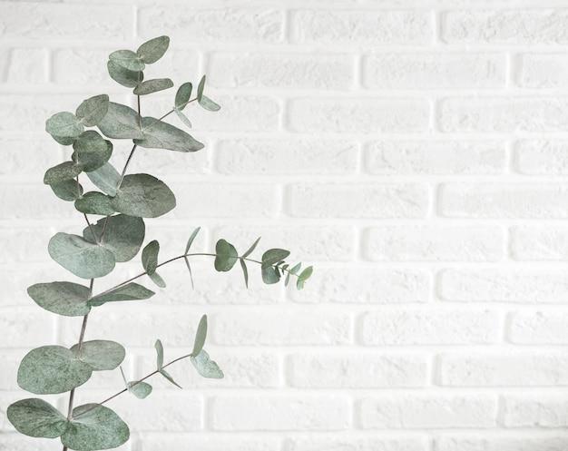 Ветвь евкалипта изолированная на яркой предпосылке, съемке студии. декоративное растение висит на кирпичной стене в модном скандинавском цвете с пространством для текста.