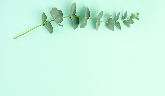 Eucalyptus branches on green background. flat lay, top view. copy space.