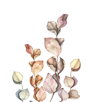 Eucalyptus branches and leave watercolour hand drawn illustration.
