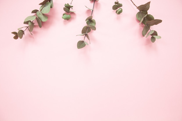 Eucalyptus branches on millennial pink background with copy space. eucalyptus on upper edge.