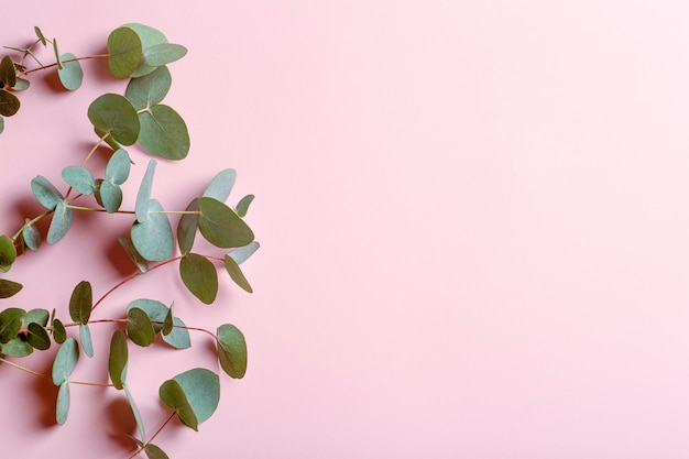 Eucalyptus branches on a pink background