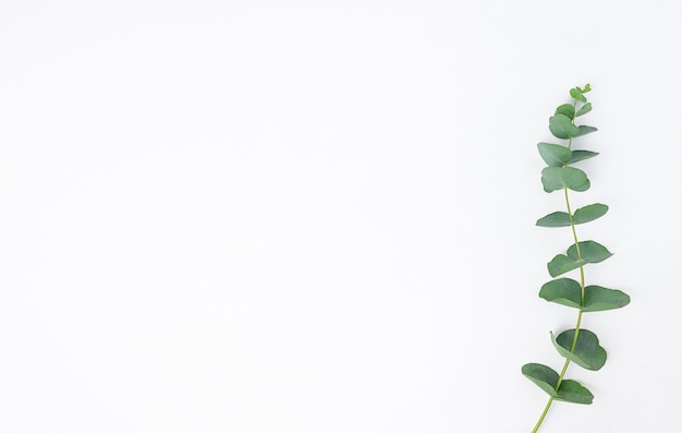 Eucalyptus branches on white background. flat lay, top view. copy space.