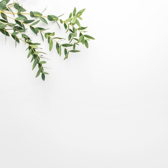 Eucalyptus branches on a white background. flat, top view, copy space