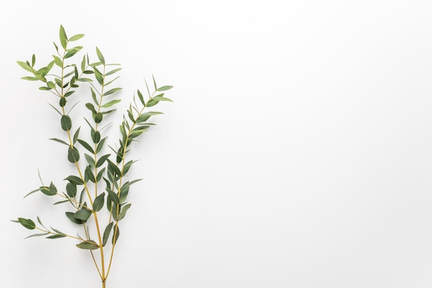 Eucalyptus branches on a white background