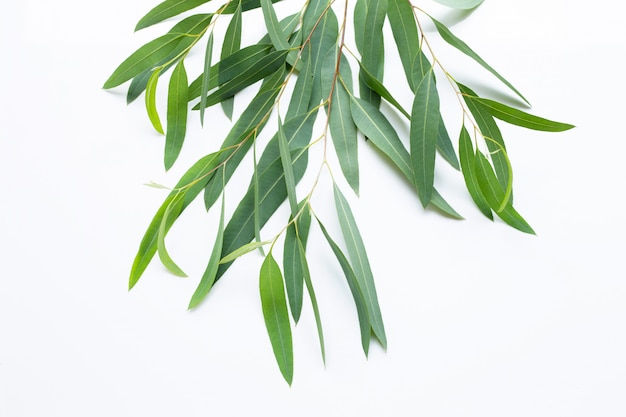 Eucalyptus  branches on white