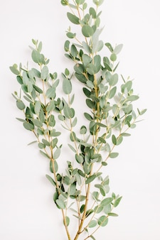 Eucalyptus flower branch on white