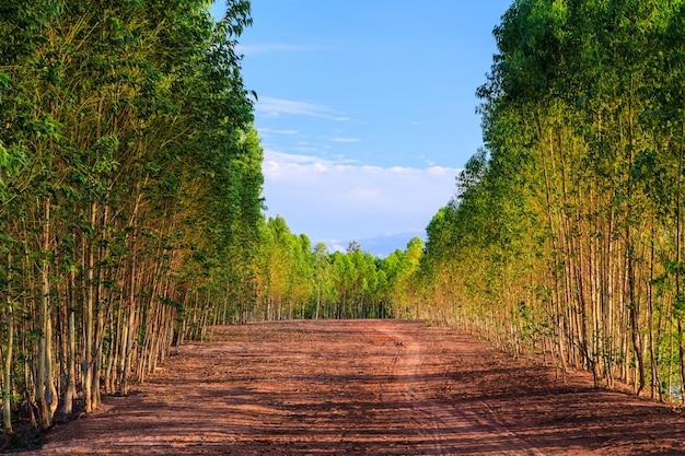 Eucalyptus forest along corridors on blue sky background