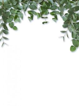 ユーカリの緑の葉と白で隔離される枝