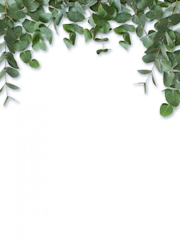 Eucalyptus green leaves and branches isolated on white