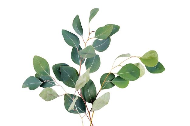 유칼립투스 잎에 고립 된 흰색 배경, 흰색에 3 개의 녹색 유칼립투스 가지
