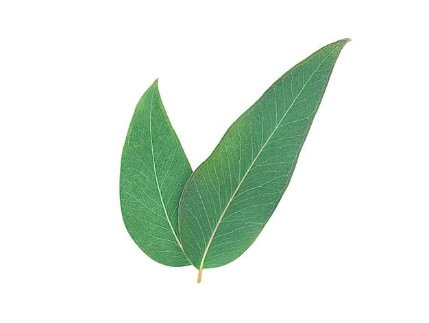 白い表面に分離されたユーカリの葉