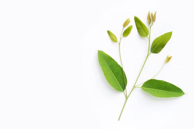 유칼립투스는 흰색 바탕에 나뭇잎.