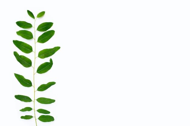 Листья эвкалипта на белом фоне.