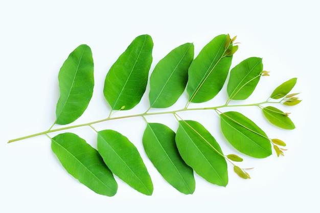 흰색 표면에 유칼립투스 잎