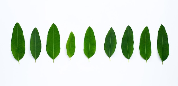 Eucalyptus leaves on white background.  copy space