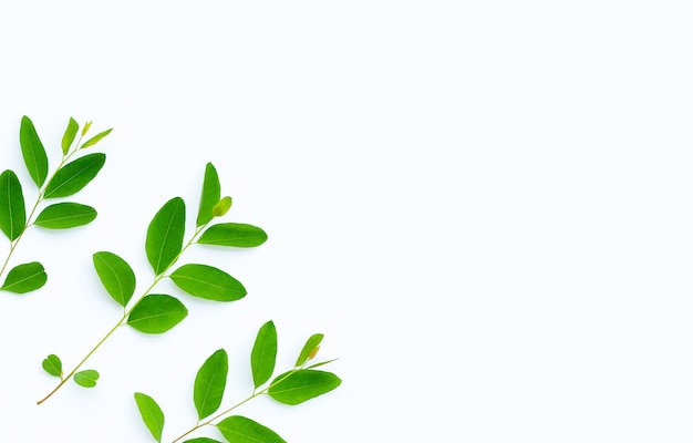 Eucalyptus leaves on white background with copy space