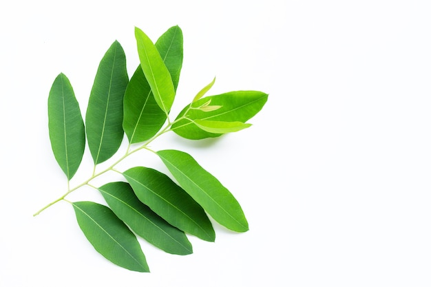 Eucalyptus leaves on white.  copy space