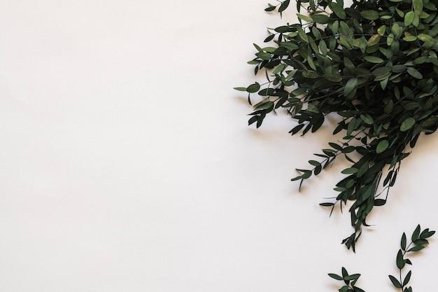 Листья эвкалипта parvifolia на белом фоне