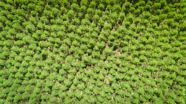 Eucalyptus plantation in brazil - cellulose paper agriculture - birdseye drone view. top view.