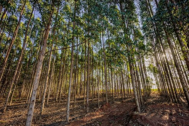 ブラジルの田舎の木材産業のためのユーカリのプランテーション。