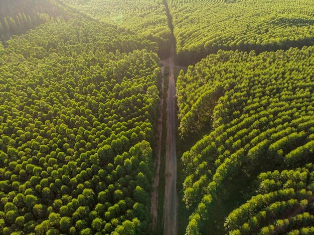 Плантация эвкалипта в бразилии. целлюлозно-бумажное сельское хозяйство. взгляд дрона birdseye. эвкалиптовый зеленый лес с высоты птичьего полета
