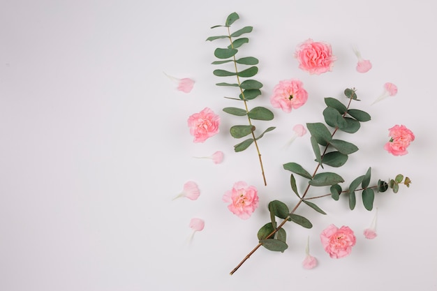 Eucalyptus populus leaves and twigs with pink carnations flowers isolated on white background